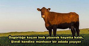 Özgürlüğe kaçan inek yüzerek hayatta kaldı, şimdi adada yaşıyor